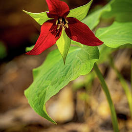 Red Trillium Portrait by SC Shank