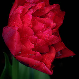Red Tulip in the Rain by Teresa Wilson