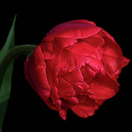 Red Tulip on Black - Square Format by Teresa Wilson