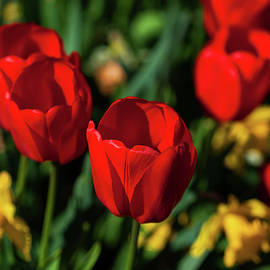 Red Tulips In The Garden by Karol Livote