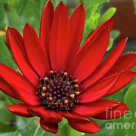Red Velvet - Sunlit Cape Daisy by Kathryn Jones