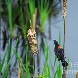 Red Wing Black Bird by Alana Ranney