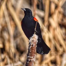 Red-winged Black Bird - Spring is Near by Dana Hardy