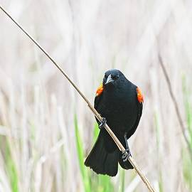 Red-winged blackbird 9, UW Arboretum, Madison, WI by Steven Ralser