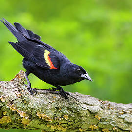 Red Winged Blackbird by Christina Rollo