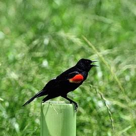 Red-Winged Blackbird by Lisa Wooten