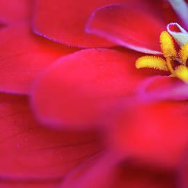 Red Zinnia Closeup by Karen Rispin