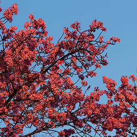 Redbuds In The Sun by Denise Harty