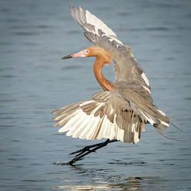 Reddish Egret Landing by Judi Dressler