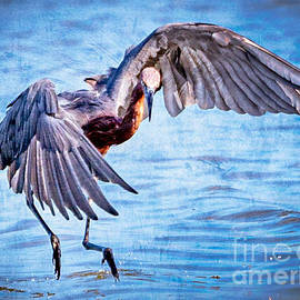 Reddish Egret, Painterly by Lynne Pedlar