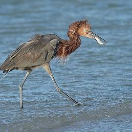 Reddish Egret with Fish by Paul Rebmann