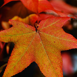 Reds And Yellow Leaves Glow by Joy Watson