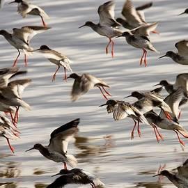 Redshank In Flight by Neil R Finlay