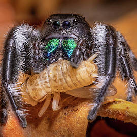 Regal Jumping Spider feeding on Cricket by Jerry Fornarotto