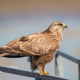 Regal Rough Legged Hawk by Loree Johnson
