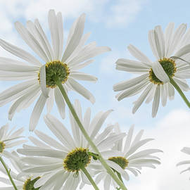 Remembrance  Delicate White Daisies against Light Blue Cloudy Sky by Nancy Jacobson