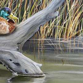 Resting Mallard Duck by Phyllis Beiser