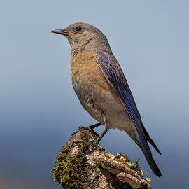 Resting Mother Bluebird by Jean Noren