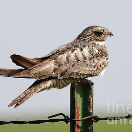 Resting Night Hawk by Audie T Photography