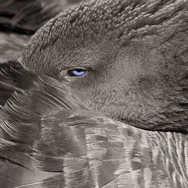 Resting Pomeranian Goose by Donna Kennedy