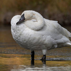 Resting Swan. by Paul Martin