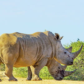 Rhino  by Rohan Van Wyk