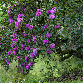 Rhododendron Blooms over Water Stream 1 by Jenny Rainbow