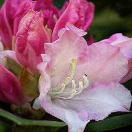 Rhododendron flowers by Shirley Mitchell