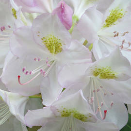 Rhododendron Spring - Floral Bouquet - Flower Art and Photography - Macro by Brooks Garten Hauschild