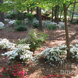Ribbon of White Azaleas in Raleigh North Carolina  by Catherine Ludwig Donleycott
