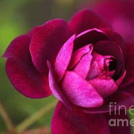 Rich Pink Rose by Joy Watson