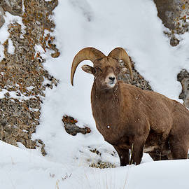 Ridge Ram by Michael Morse