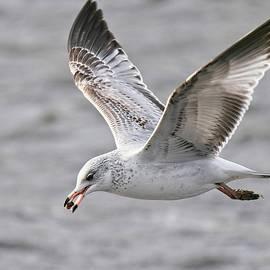 Ring Billed Gull 1, Madison, Wisconsin by Steven Ralser