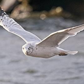 Ring Billed Gull 2, Madison, Wisconsin by Steven Ralser