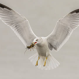 Ring Billed Gull Flying #2 by Morris Finkelstein