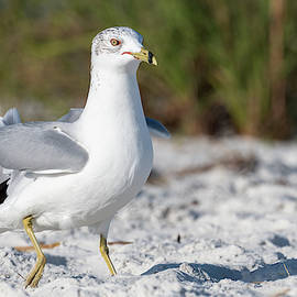 Ring-billed Gull by Nate Arnold