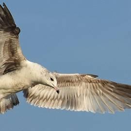 Ring-billed Gull by Paula Goodman