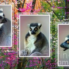 Ring-Tailed Lemur Collage.  by Trudee Hunter