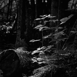 Rising from the old roots. Norway maple bw by Jouko Lehto