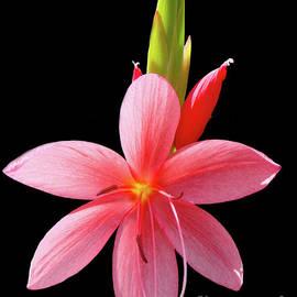 River Lily - Hesperantha coccinea by Yvonne Johnstone