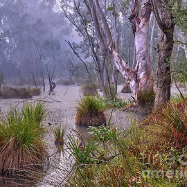 River Red Gum In The Wetlands by Neil Maclachlan