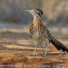 Roadrunner Profile by Jerry Fornarotto