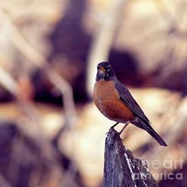 robin, El Dorado National Forest, California, U.S.A. by PROMedias Obray
