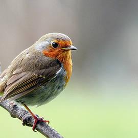 Robin by John Fotheringham