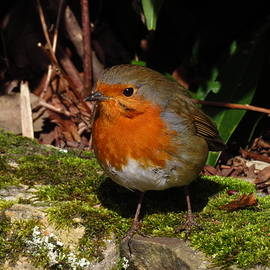 Robin Red Breast by Andrew Wright