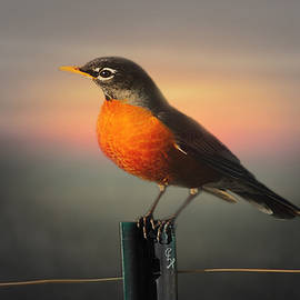 Robin Sunset 2 by Christopher Haire