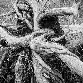 Roots of an Uprooted Tree in the Wetlands - Croatan National Forest by Bob Decker