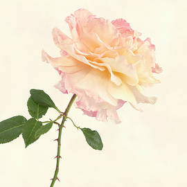 Rosa Rachel  by Denis O' Reilly