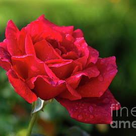 Rosa Roja Mojada by Diana Mary Sharpton