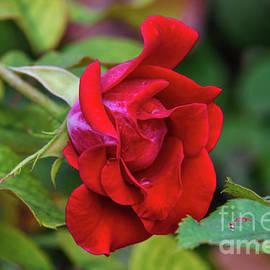 Rosa Vermelha Comum by Diana Mary Sharpton